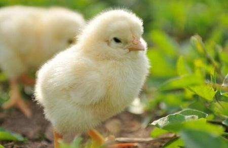 肉鸡全程无抗保健方案