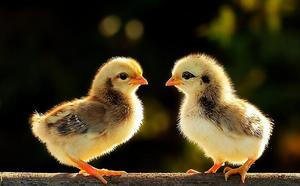 雏鸡支气管栓塞控制方案